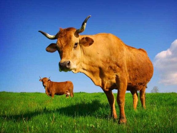 Разводим коров!
