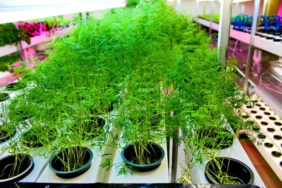 Выращивание укропа гидропонным методом 88