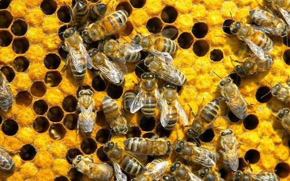 Пчелы!
