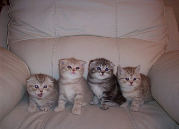 Вислоухие котята!