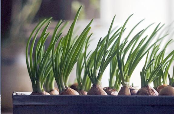 Выращивание лука на зелень в теплице 78