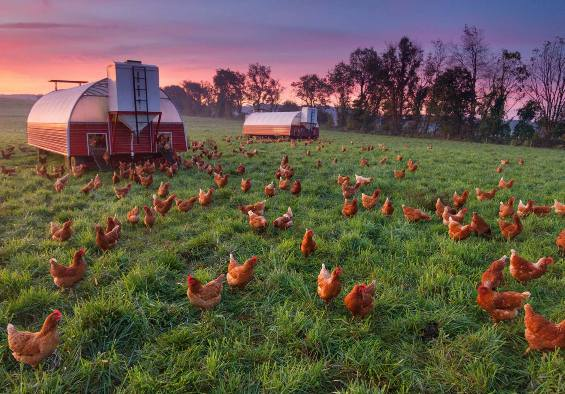 Закат на птицеферме!