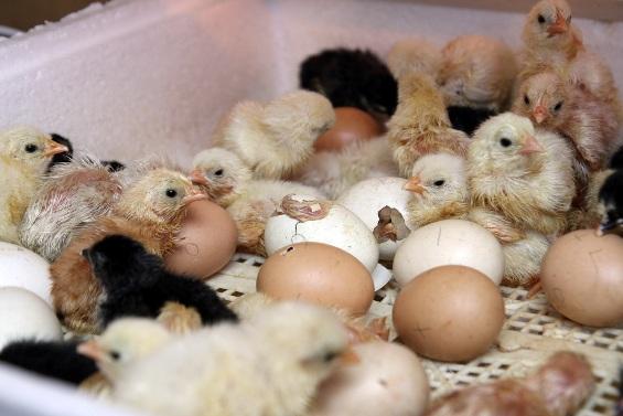 Вылупление цыплят!