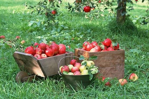 Сбор яблок!