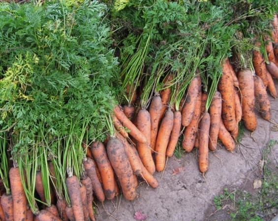 Только что выкопанная морковь!